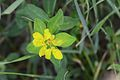 Euphorbia verrucosa cf. (7416553170).jpg
