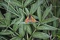 Euphydryas aurinia, Chaux-des-Prés - img 25573.jpg