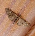 Eupithecia abbreviata Brindled Pug? (16791793909).jpg