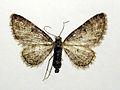 Eupithecia inturbata.jpg