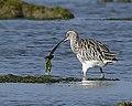 Eurasian Curlew AMSM5391ECUR.jpg