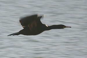 European shag - Shag in flight