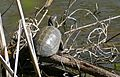 European Pond Turtle (Emys orbicularis) (26022115821).jpg