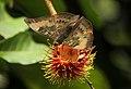 Euthalia aconthea in a Rambutan tree @ Kanjirappally 01.jpg