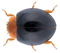 Exochomus nigripennis (Erichson, 1843).png