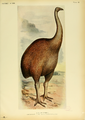 Extinctbirds1907 P42 Dinornis ingens0375.png