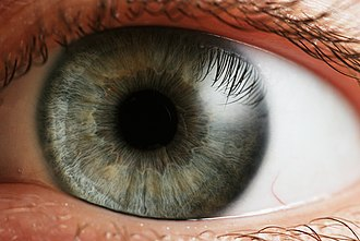 Pupil - The human eye The pupil is the central transparent area (showing as black). The grey/blue area surrounding it is the iris. The white outer area is the sclera, the central transparent part of which is the cornea.