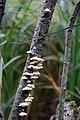 Fall Mushrooms (15456217231).jpg