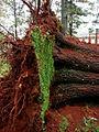 Fallen Oak (trunk) (3387751854).jpg