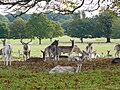 Fallow Deer in Richmond Park - geograph.org.uk - 1166242.jpg