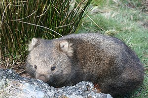 Cradle Mountain-Lake St Clair National Park - Wombat in the National Park