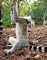 Faunia - Lemur catta 2.jpg