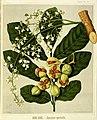 Featon, Sarah Anne, 1848-1927 -Kohe-kohe - Dysoxylum spectabile. Bock and Cousins Chromo-Litho. (Wellington, 1889) (21476246040).jpg