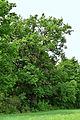 Feldbach-Gniebing - Naturdenkmal 518 - Stieleiche (Quercus robur) - I.jpg