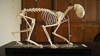 Felis catus skeleton.JPG