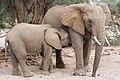 Female African bush elephant (Loxodonta africana) with juvenile, Daures, Erongo, Namibia.jpg