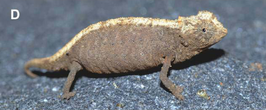 Female Brookesia confidens from Ankarana.png