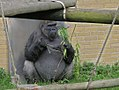 Female Gorilla Edinburgh Zoo 2004 SMC.jpg
