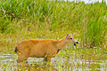 Female Marsh Deer Steros del Ibera.jpg