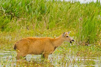 Marsh deer - Female Marsh deer in Esteros del Iberá, Argentina.