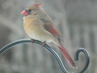 Cardinal (bird) - A female northern cardinal