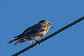 Female Western Bluebird (sialia mexicana) (8156995107).jpg
