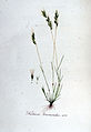 Festuca bromoides — Flora Batava — Volume v6.jpg