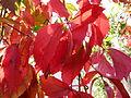 Feuilles rouges d'automne 2.JPG