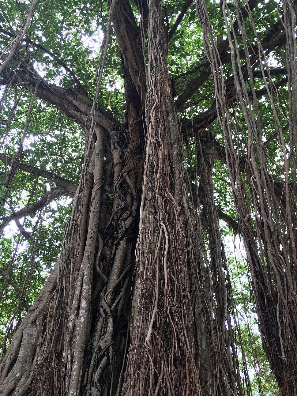 Ficus benghalensis @ Kodungallur India 01