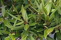 Ficus neriifolia 1zz.jpg