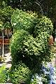 Ficus pumila 23zz.jpg