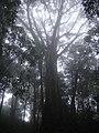 Ficus tree.JPG