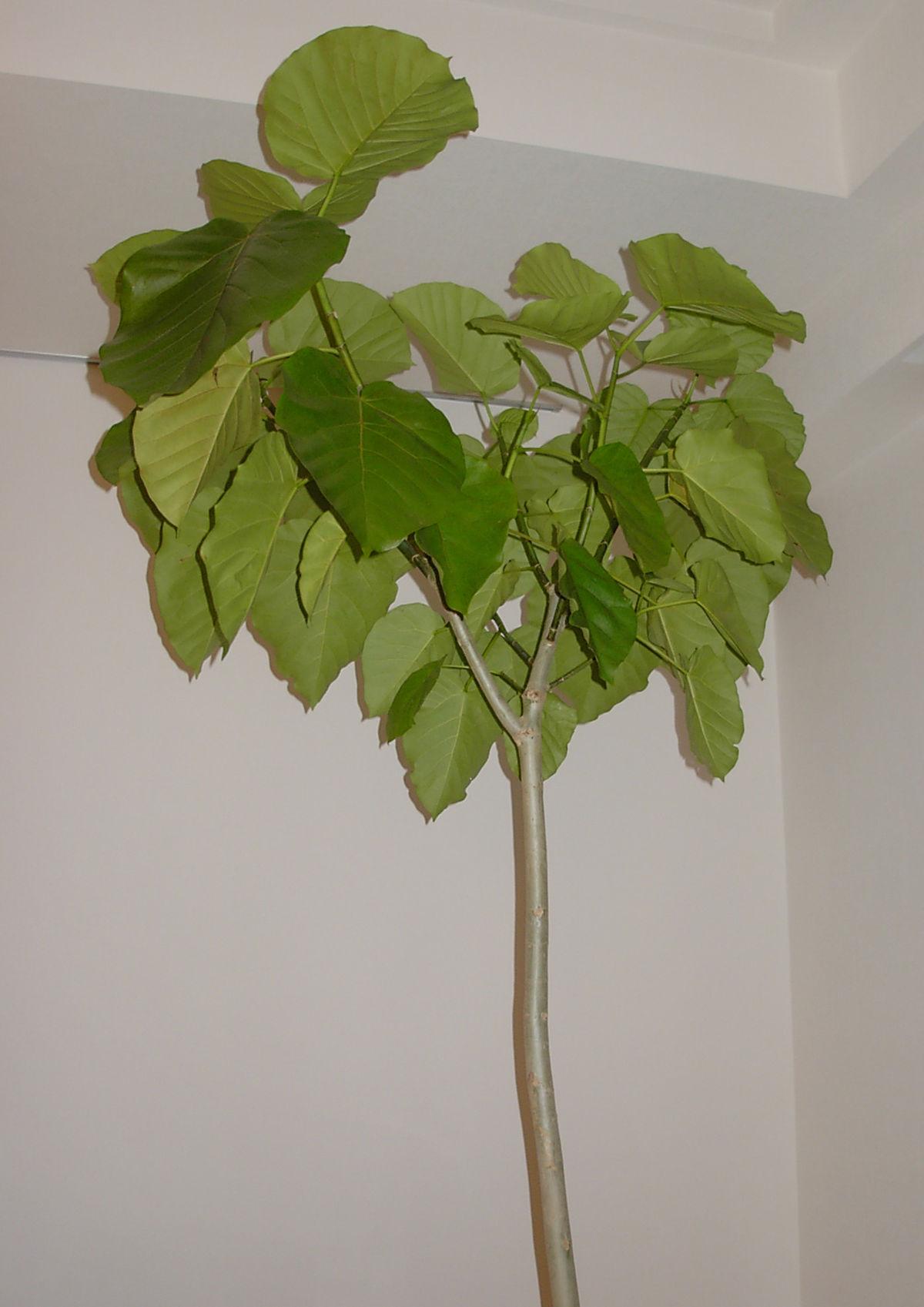 Ficus umbellata.jpg