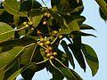Ficus virens ? (3188514242).jpg
