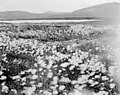 Field of Alaska cotton, Seward Peninsula, Alaska, between 1902 and 1912 (AL+CA 6383).jpg
