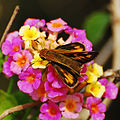 Fiery skipper butterfly on lantana (5871668268).jpg