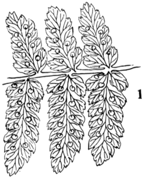 Fig 1 Dryopteris pittsfordensis.png