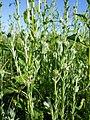 Filago vulgaris sl316.jpg