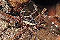 Fishing spider02.jpg