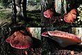 Fistulina hepatica (GB= Beefsteak polypore fungus or Ox Tongue, D= Leberreischling, auch Leberpilz oder Ochsenzunge, F= Langue de bœuf, NL= Biefstukzwam) at NP Hoge Veluwe. Much smaller than those at Dordogne - panoramio.jpg