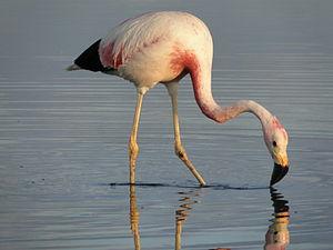 Andean flamingo - Andean flamingo foraging in a lake in Salar de Atacama, Chile