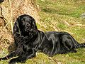 Flat-coated Retriever Molly.jpg