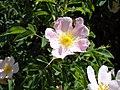 Fleur d'églantier (Rosa canina) et abeille en vol.jpg