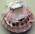 Flexopecten glaber (bald scallop) 3.jpg
