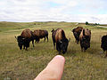 Flickr - Furryscaly - Please, Do Not Poke the Bison.jpg