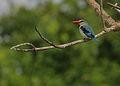 Flickr - Rainbirder - Mangrove Kingfisher (Halcyon senegaloides) in the rain.jpg