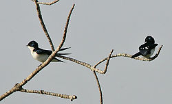 Flickr - Rainbirder - Pied-winged Swallows( Hirundo leucosoma).jpg