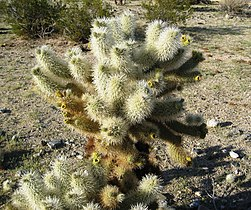 Flickr - brewbooks - Cylindropuntia bigelovii ( Teddy-bear Cholla Cactus) (1).jpg