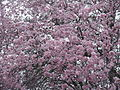 Flickr - brewbooks - Our Ornamental Plums in Flower - with Snow.jpg