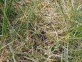Fliege im Gras.JPG